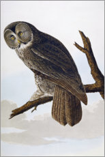 Great Cinereous Owl, from 'The Birds of America'
