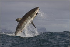 Great white shark (Carcharodon carcharias), Seal Island, False Bay, Simonstown, Western Cape, South