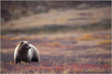 Grizzly in tundra