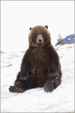 Grizzly sitting in the snow