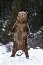 Grizzly Bear standing in the snow