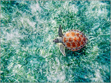Green sea turtle from above