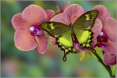 Green swallowtail butterfly on orchid