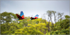 Red-and-green-macaws flying home