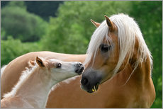 Haflinger horses foal with mare cuddling