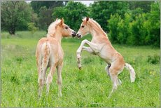 Haflinger horses foals playing and rearing