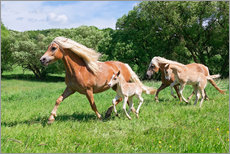 Haflinger mares with their foals running