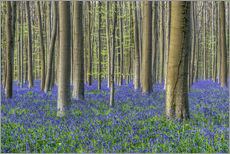 Bluebells in the beech forest