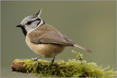 Crested Tit in Moos