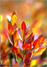 Bilberry leaves in various shades of red