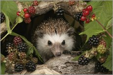 Hedgehog and blackberries