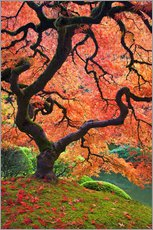 don paulson japanese maple tree next to pond poster. Black Bedroom Furniture Sets. Home Design Ideas