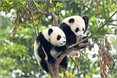 Young Pandas in a tree
