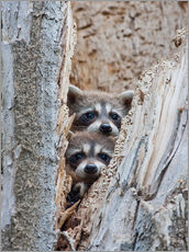 Young raccoons in hiding