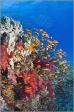 Lyretail anthias feeding on a reef