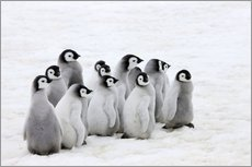 Emperor penguin chicks on ice