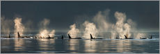 Killer whales on the water surface