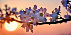 Cherry blossoms against evening under the setting sun