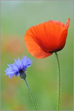 Papaver rhoeas and Centaurea cyanus