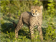 Little Cheetah on the Grass
