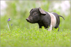 Little Baby Pig