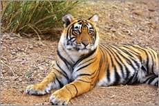 Royal Bengal Tiger sitting outside grassland