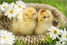 Chicks in a basket