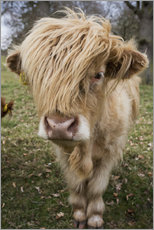 Cow With Long Hair Over It's Face