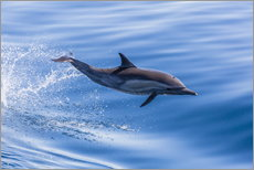 Long-beaked common dolphin leaping