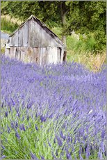 Lavender field and small shed