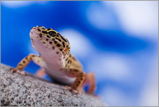 Leopard Gecko on Blue