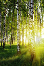 Birches flooded with light