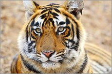 Lying Royal Bengal Tiger in Portrait