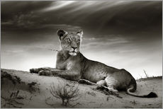 Lioness resting on top of a sand dune