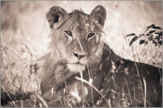 Lioness between grasses
