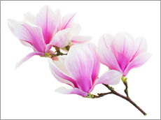 Branch of pink magnolia