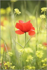 Single poppy in a field