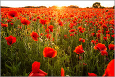 Poppy field with sunset