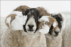 Northumberland blackface sheep in snow, Tarset, Hexham, Northumberland, UK