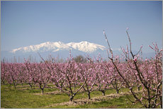 Fruit blossoms, Mont Canigou