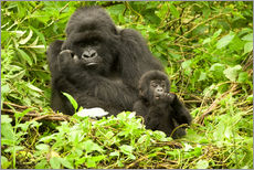 Eastern Gorilla with baby between leaves