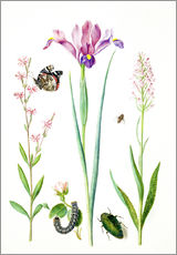 Red catchfly, rose, iris & orchis