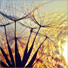 Dandelion in the sunset III