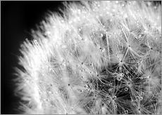 Dandelion dew drops black and white