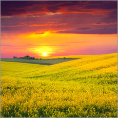 Canola fields in the sunset