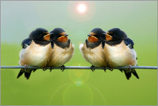 Barn swallows on a wire