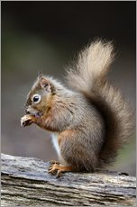 Red squirrel grooming