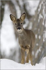 Roe deer in winter