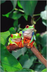 Redeyedtreefrogcouple sitting on a branch