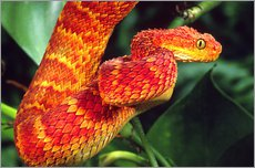 Red bush viper between leaves